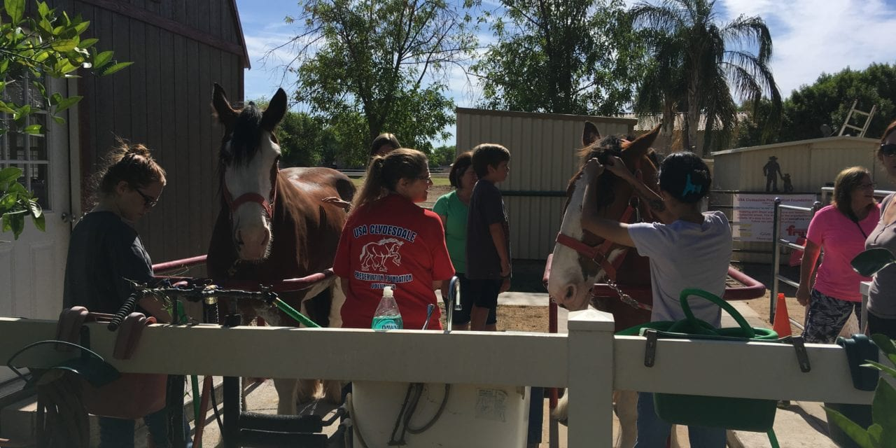 Volunteer in Gilbert, AZ – Bathe a Clydesdale Horse